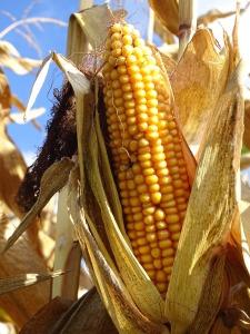 corn-1847037_1280