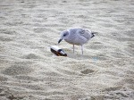 seagull with beer